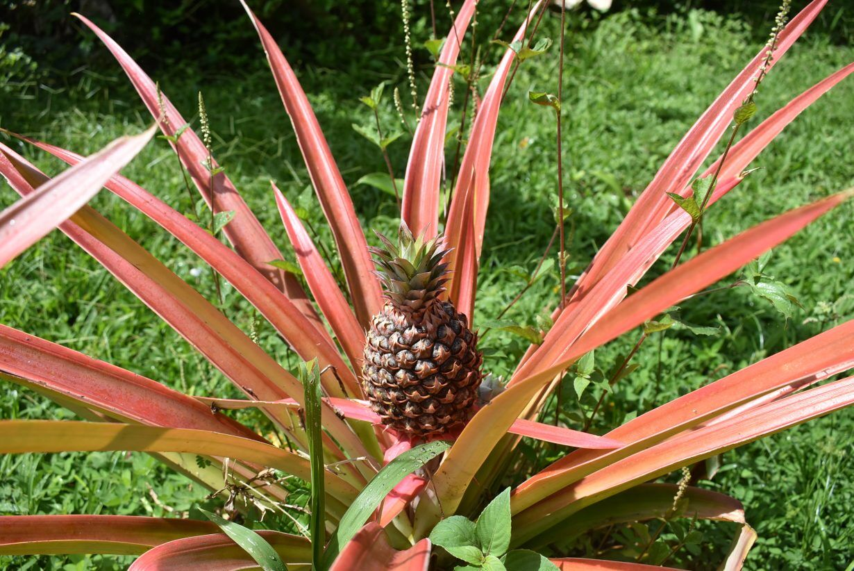 ORGANIC_PINEAPLE_COSTA_RICA